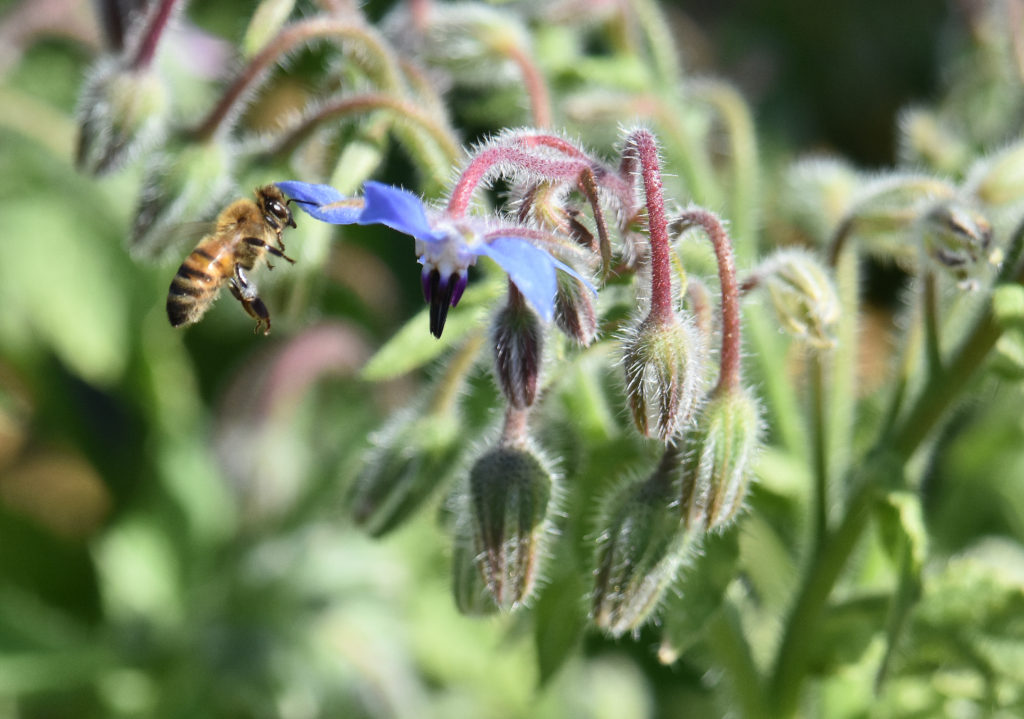 bee-borage